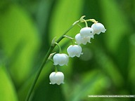 Lily of the valley26 pics